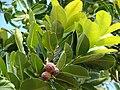 Starr 061106-1464 Calophyllum inophyllum.jpg