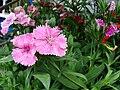 Starr 070906-8662 Dianthus barbatus.jpg