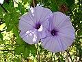 Starr 071024-0380 Ipomoea cairica.jpg
