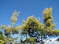Starr 071024-0384 Melaleuca bracteata.jpg