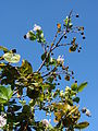 Starr 071024-9890 Dais cotinifolia.jpg