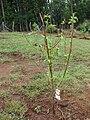 Starr 080302-3156 Prunus persica.jpg