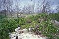 Starr 990427-0608 Casuarina equisetifolia.jpg
