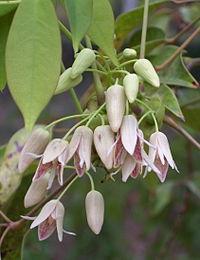 Stauntonia hexaphylla RJB