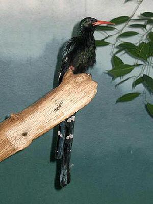 Phoeniculus - Green wood hoopoe (P. purpureus)