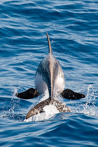 Rough-toothed dolphin - Image: Steno bredanensis 3