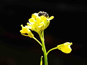 Stingless bee - Collecting nectar from mustard flower (Photographed from Areacode, Kerala, India)