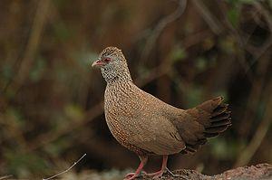 Ptilopachus - Stone partridge