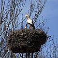 Stork in its nest.jpg