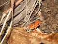 Strawberry Poison Dart Frog - Basti morph.jpg
