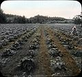 Strawberry patch (3707829711).jpg