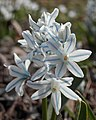 Striped Squill (Puschkinia scilloides) - Kitchener, Ontario.jpg