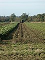 Sugar beet harvest, Wramplingham - geograph.org.uk - 77224.jpg