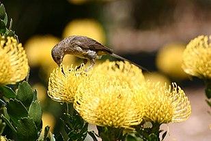 Leucospermum Wikipedia
