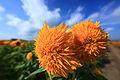 Sunflower - Helianthus - 向日葵(ひまわり).jpg