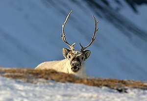 Dashing Through The Snow: How Christmas Got Its Reindeer
