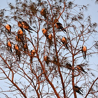 Swallow-tailed kite - A groupe of more than 20 swallow-tailed kites gathering at sunset in Sanibel Island, Florida