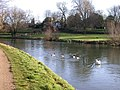 Swan chasing off geese - geograph.org.uk - 672721.jpg