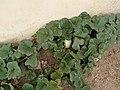 Sweet Melon plant 1.jpg