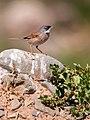 Sylvia conspicillata -Las Palmas, Gran Canaria, Canary Islands, Spain-8.jpg