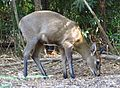 Sylvicapra grimmia Grey Duiker mature male IMG 0435s.jpg