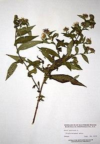 Symphyotrichum puniceum var. puniceum BW-1979-0920-9913.jpg