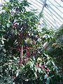 Syzygium malaccense BotGardBln07122011B.JPG