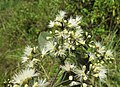 Syzygium zeylanicum flowers 51.jpg