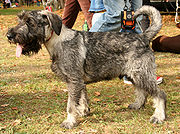 This Standard Schnauzer is unusual in having an un-docked tail