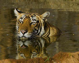 Chitwan National Park - Bengal tigress