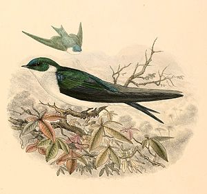 Golden swallow - Sketch of the subspecies T. e. sclateri