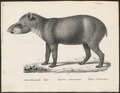 Tapirus americanus - 1700-1880 - Print - Iconographia Zoologica - Special Collections University of Amsterdam - UBA01 IZ22000259.tif