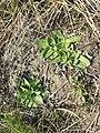 Taraxacum serotinum sl102.jpg