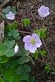 Tarn. Góry - Park OO. Kamilianów (Oxalis acetosella).jpg