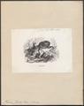Tarsius fischeri - 1851-1876 - Print - Iconographia Zoologica - Special Collections University of Amsterdam - UBA01 IZ19700151.tif