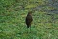 Tawny Antpitta 2015-06-03 (1) (40310029561).jpg