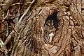 Tawny Owl (Strix aluco), Parc de Woluwé, Bruxelles (23814972790).jpg