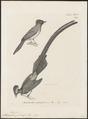Tchitrea princeps - 1700-1880 - Print - Iconographia Zoologica - Special Collections University of Amsterdam - UBA01 IZ16500059.tif