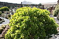Teguise Guatiza - Jardin - Euphorbia neriifolia 02 ies.jpg