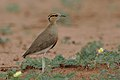 Temminck's courser, Cursorius temminckii, at Mapungubwe National Park, Limpopo Province, South Africa (31921736147).jpg