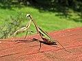 Tenodera sinensis (Chinese praying mantis) (Newark, Ohio, USA) 3 (30701063764).jpg