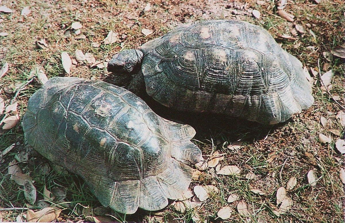 Testudo marginata wikipedia for Oggetti per tartarughe