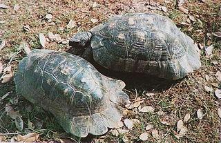 Marginated tortoise species of reptile