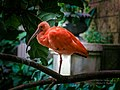 The Hue Of The Scarlet Ibis (248962927).jpeg
