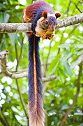 The Indian giant squirrel.jpg
