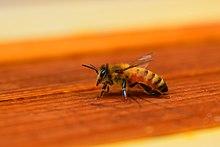 The Lone Pollinator.jpg