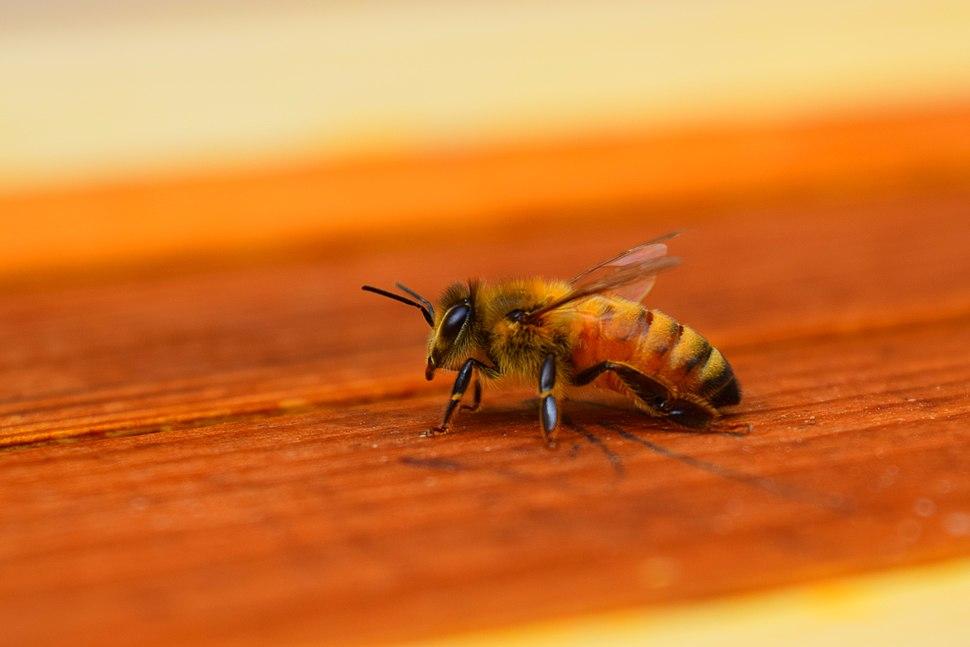 Honey bee - Howling Pixel