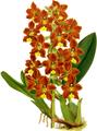 The Orchid Album-01-0083-0027-Odontoglossum brevifolium-crop.png