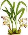 The Orchid Album-02-0012-0051-Coelia bella-crop.png