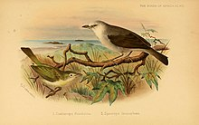 The birds of Africa (Pl. VIII) (7837800794).jpg